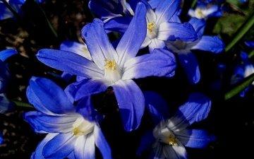 цветы, природа, синие, хионодокса