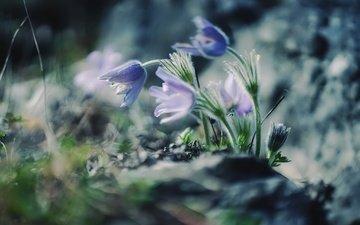 цветы, природа, весна, сон-трава, прострел