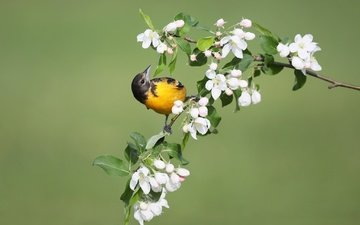flowers, bird, spring, apple, oriole, baltimore colored troupial, simon théberge