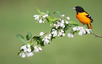 flowers, bird, spring, oriole, baltimore colored troupial, simon théberge