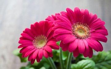 цветы, лепестки, розовые, герберы