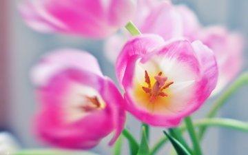 цветы, тюльпаны, розовые