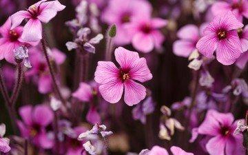 цветы, лепестки, розовые, герань