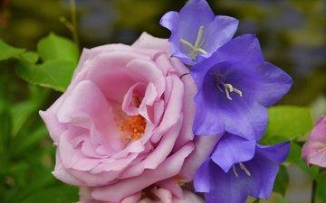 цветы, розы, колокольчики