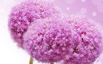 цветы, лук, сиреневые, декоративный лук, декоративный, аллиум
