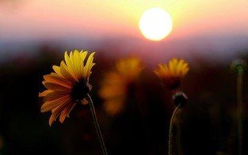цветы, солнце, закат, поле, лепестки, желтые