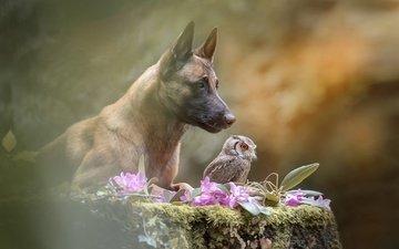 цветы, сова, природа, животные, собака, пес, пень, овчарка, малинуа, бельгийская овчарка
