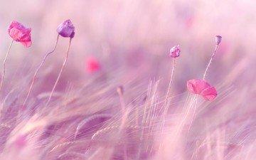 цветы, поле, маки, размытость, колосья, пшеница, ветер