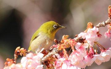 цветы, ветка, цветение, птица, весна, белоглазка