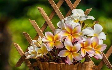 flowers, petals, pot, plumeria, frangipani