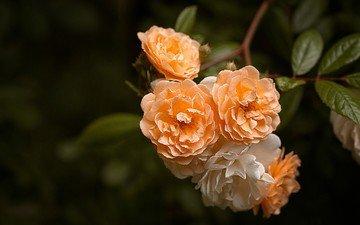 цветы, ветка, листья, розы, лепестки