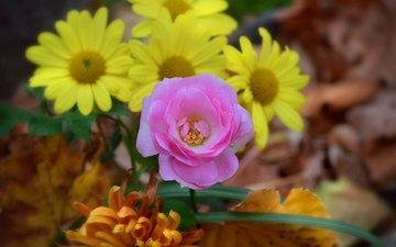 цветы, роза, ромашки