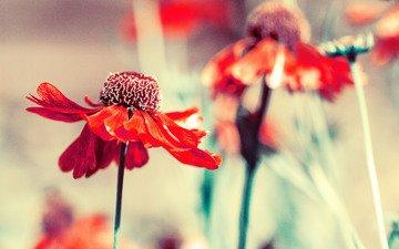 цветы, лепестки, размытость, гелениум