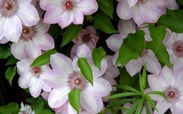 цветы, зелень, листья, розовые, клематис, клематисы