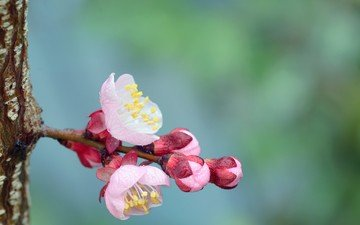 flowers, flowering, buds, flower, spring, trunk