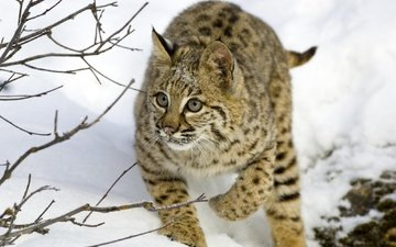 trees, snow, lynx, branches, hunting