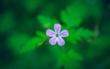 фон, цветок, лепестки, размытость, герань, герань роберта
