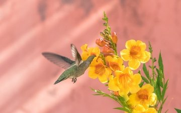 background, flower, wings, bird, hummingbird, calypte anna