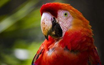 фон, птица, клюв, перья, попугай, ара