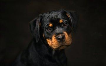 background, dog, puppy, rottweiler, frelka