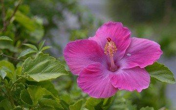 листья, цветок, лепестки, розовый, гибискус