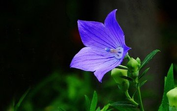 цветок, голубой, черный фон, колокольчик