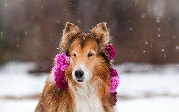 flowers, snow, nature, winter, dog, collie, clove, scottish shepherd