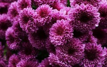 цветы, лепестки, хризантемы