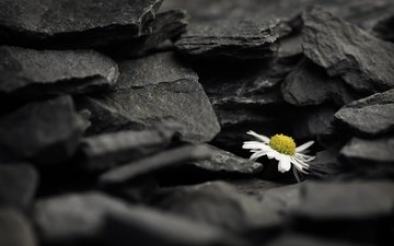 stones, background, flower, daisy