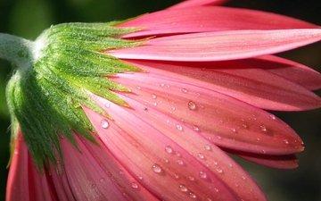 цветок, роса, капли, бутон, гербера, розовый цветок