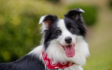 eyes, look, dog, language, the border collie