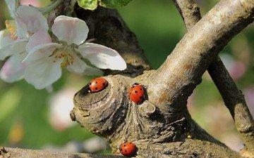 цветы, дерево, цветение, насекомые, божьи коровки, божья коровка, весна