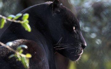 face, cat, predator, profile, panther, animal, wild cat, black panther