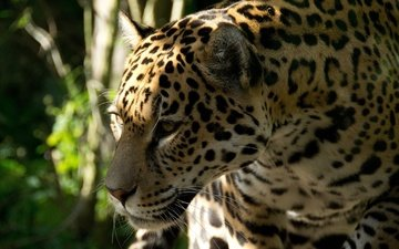 face, cat, predator, profile, jaguar