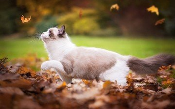 leaves, cat, autumn, plays, falling leaves, ragdoll