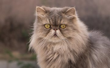 eyes, cat, muzzle, look, fluffy, persian cat