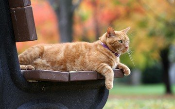 cat, autumn, bench, red, bokeh, red cat