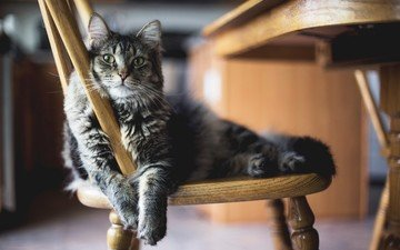eyes, cat, mustache, look, grey, chair, sergey morozov, resting after lunch
