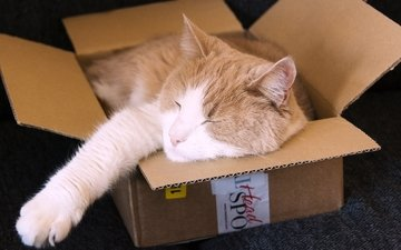 cat, sleeping, ears, red, box
