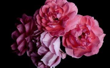 цветы, розы, лепестки, черный фон, букет