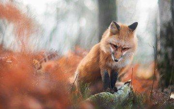 деревья, природа, лес, стволы, осень, лиса, лисица, животное