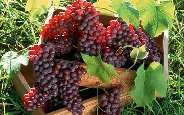 листья, виноград, лоза, ящики, грозди