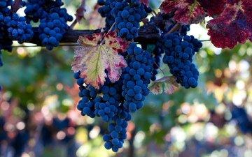 листья, виноград, лоза, грозди