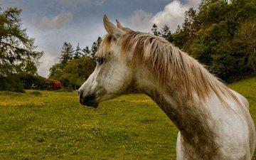 лошадь, трава, природа, поле, конь, грива