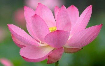 цветок, лепестки, лотос, розовый