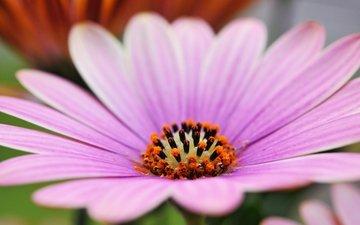 макро, цветок, лепестки, остеоспермум