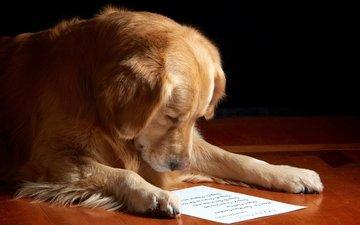 морда, бумага, собака, лист, золотистый ретривер, чтение
