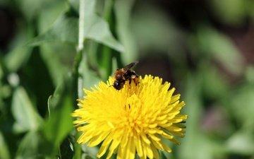 зелень, насекомое, цветок, одуванчик, пчела