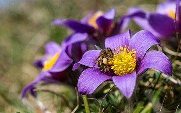 цветы, природа, насекомое, весна, пчела, анемоны, сон-трава, прострел