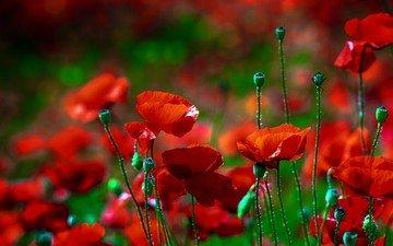цветы, природа, поле, лето, красные, маки